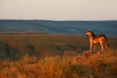 Le chien regarde le coucher du soleil image libre de droits