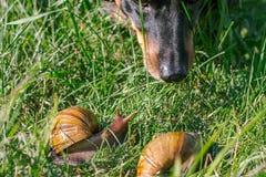 Le chien renifle les escargots africains adultes d'achatina dehors images stock