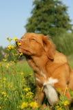 Le chien renifle à une fleur Photographie stock libre de droits