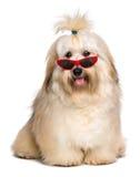 Le chien rougeâtre heureux de Havanese est port les lunettes de soleil rouges drôles images libres de droits