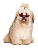 Le chien rougeâtre heureux de Havanese est port les lunettes de soleil rouges drôles photo stock