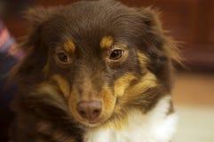 Le chien rouge Image libre de droits