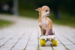 Le chien roux de chiwawa a léché se reposer sur une planche à roulettes Images libres de droits