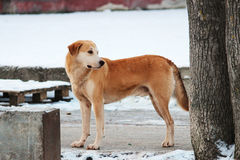 le chien roux sans abri va sur le marché de l'hiver Photographie stock libre de droits