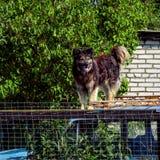 Le chien s'est élevé sur un toit de la vieille position de voiture Photo libre de droits