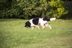 Le chien sans race avec la laine brune marche par le pré et a plaisir la marche Photo stock