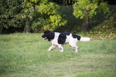 Le chien sans race avec la laine brune marche par le pré et a plaisir la marche Photos stock