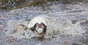 Le chien sautant dans l'eau photo libre de droits