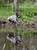 Le chien sautant en rivière Images libres de droits