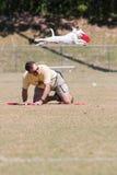 Le chien saute et se prolonge dans l'entre le ciel et la terre au frisbee de crochet Photo stock