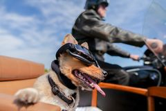 Le chien se repose avec des lunettes de soleil dans un sidecar de moto photos stock
