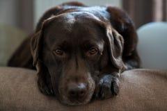 Le chien se repose sur son oreiller photo libre de droits