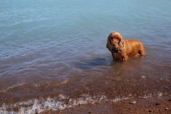 Le chien se tient dans l'eau photographie stock libre de droits