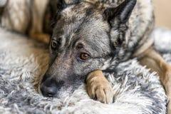 Le chien se trouve sur le sofa et attend le propriétaire photo stock