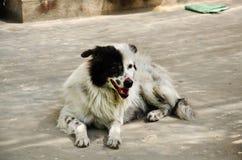 Le chien seul sale sans abri a abandonné la fixation sur le plancher Photos libres de droits