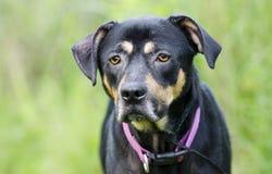 Le chien shephered le chien mélangé de race avec le teint de gale Images libres de droits