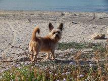 Le chien sur la plage Image stock