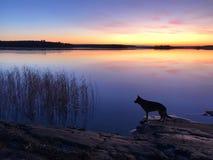 Le chien sur la plage au coucher du soleil Photos stock