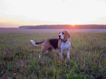 Le chien sur la promenade Image libre de droits