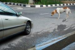 Le chien sur la route et la voiture Photographie stock