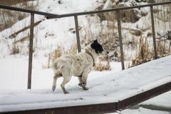 Le chien sur le pont image libre de droits