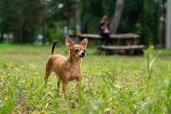 Le chien sur une promenade images libres de droits