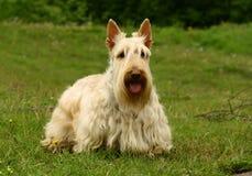Le chien terrier écossais image libre de droits