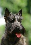 Le chien terrier écossais images libres de droits