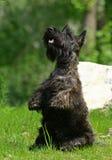 Le chien terrier écossais Photo libre de droits
