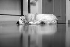 Le chien terrier d'obturation jeûnent en sommeil Photo libre de droits