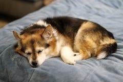 Le chien terrier d'obturation jeûnent en sommeil Photo stock