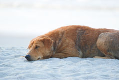 Le chien terrier d'obturation jeûnent en sommeil Photos stock
