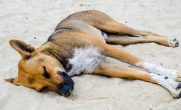 Le chien terrier d'obturation jeûnent en sommeil Photographie stock