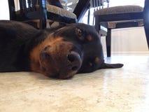 Le chien terrier d'obturation jeûnent en sommeil Photographie stock libre de droits