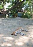 Le chien terrier d'obturation jeûnent en sommeil Images libres de droits