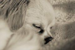 Le chien terrier d'obturation jeûnent en sommeil Image stock