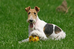 Le chien terrier de Fox de fil Photo stock