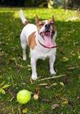 Le chien terrier de Jack Russell veut jouer la bille Images libres de droits