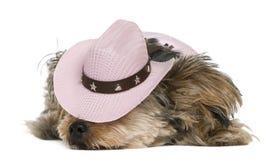 Le chien terrier de Yorkshire, 2 années, a rectifié a Image libre de droits