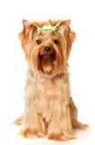 Le chien terrier de Yorkshire Photos stock