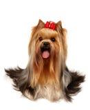 Le chien terrier de Yorkshire de la classe d'exposition Photographie stock libre de droits