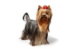 Le chien terrier de Yorkshire sur le fond blanc Photo stock