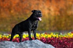 Le chien terrier fier de Stafford reste contre les couleurs Image stock