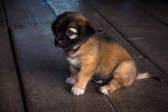 Le chien thaïlandais de chiot de Brown photos libres de droits