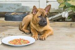 Le chien thaïlandais de Ridgeback mangent des aliments pour chiens Photo libre de droits