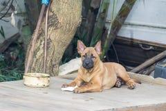 Le chien thaïlandais de Ridgeback mangent des aliments pour chiens Image libre de droits