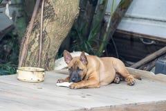 Le chien thaïlandais de Ridgeback mangent des aliments pour chiens Photos stock