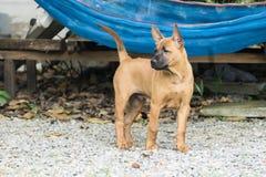Le chien thaïlandais de Ridgeback mangent des aliments pour chiens Images libres de droits