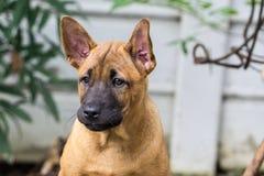 Le chien thaïlandais de Ridgeback mangent des aliments pour chiens Photographie stock libre de droits