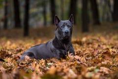 Le chien thaïlandais de Ridgeback se trouve au sol photos libres de droits